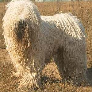Komondor (Kom, mop dog)