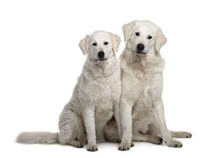 Two Young Kuvasz Adults