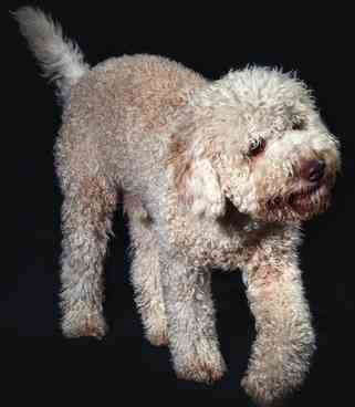 Truffles Anyone:  Lagotto Romagnolo