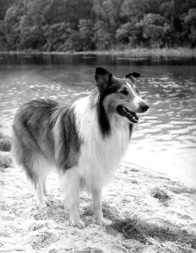 Lassie from the 1950s TV Show with the same name.
