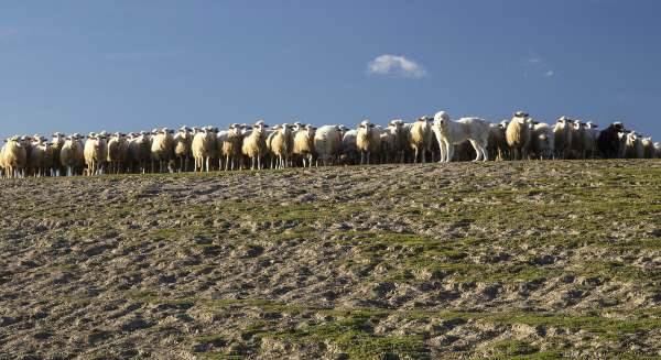 Livestock Guardian Dogs:  Hard workers or Family Pets