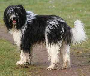 Schapendoes Dutch Sheepdog