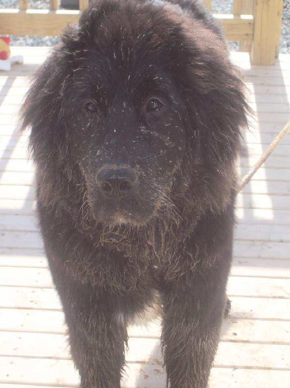 Some Newfoundlands love mud.