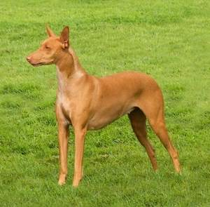 Pharaoh Hound at 35 mph: Do well with short, brisk runs