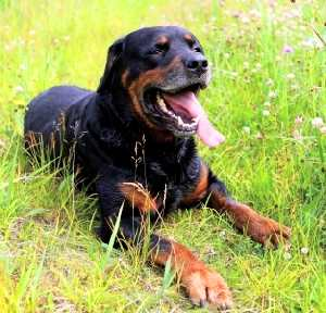 rottweiler dog mean. while their generalization in pop culture suggests they are mean attack dogs, rottweilers or rotties, as often called actually intelligent, rottweiler dog
