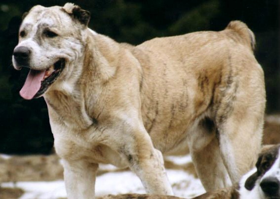 Afghan Tiger Dog Breed