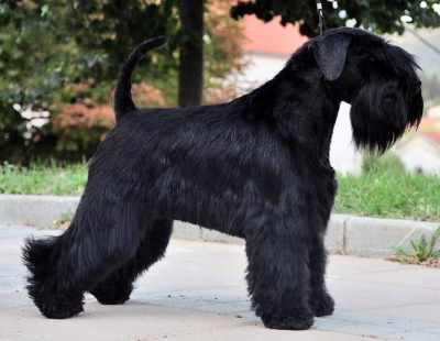 All black Miniature Schnauzer with natural ears and tail