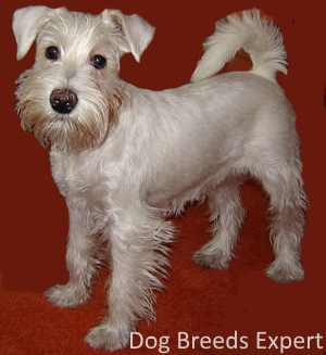 White Schnauzer with uncropped ears and undocked tail.