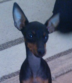 Skye The English Toy Terrier