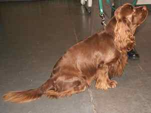 Sussex Spaniel Health concerns