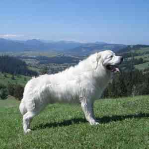 Polish Tatra Sheepdog (also called Owczarek Podhalanski, Polish Mountain Sheepdog, Tatra)