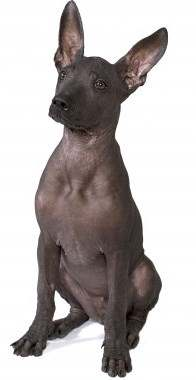 Standard Mexican Hairless