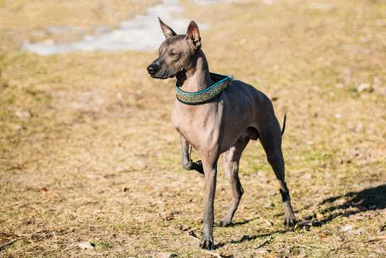 This hairless dog requires no brushing but the coated version needs brushing. (Mexican Hairless or Xolitzcuintli)