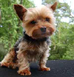 Yorkshire Terrier Dog Breed is Number 6 in Popularity