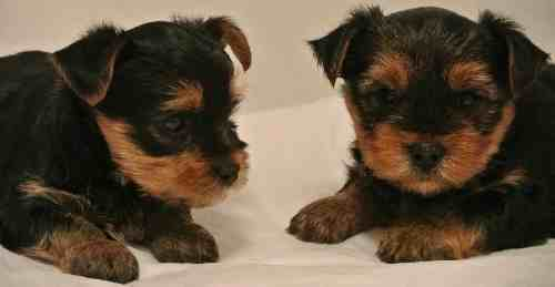 Two Yorkie Puppies at 5 weeks old.