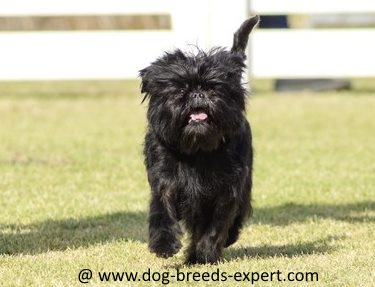 That scruffy look is all part of the charm of the Affenpinscher.Scruffy or not, he still needs brushing and professional grooming about every three months