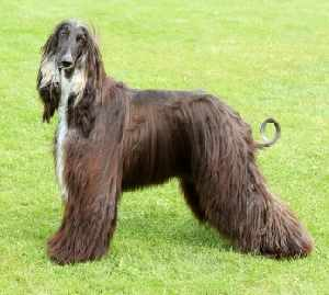 Afghan Hound:  A good choice when running with your dog