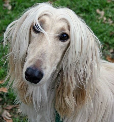 Afghan Hound. Everything you want to know about this large dog breed.