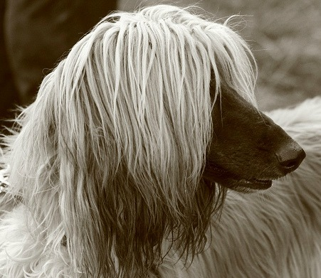 Afghan Hound. Everything you want to know about this large