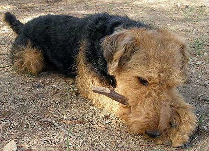 Airedale Terrier All About The King Of Terriers