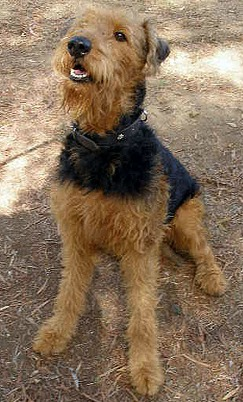 Airedale Terrier Dog Breed