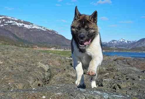 Akita is running on rough terrain.