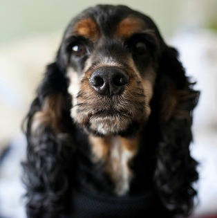 American Cocker Spaniel Everything You Want To Know About