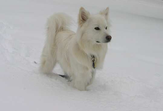 An American Eskimo Dog Enjoys the Snow