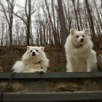 Two American Eskimo Dogs