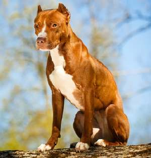 Blue Nose Pit Bulls: Important Facts You Should Know