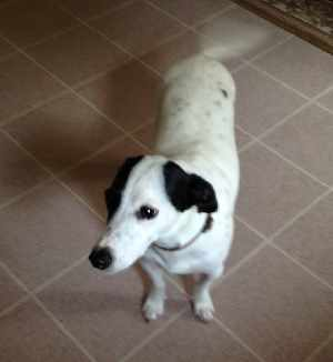 Black and White Jack Russell Terrier named Arrow.
