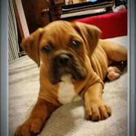 Our brand new Valley Bulldog