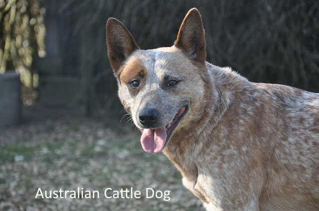 Australian Cattle Dog:  Great Dog Breed for Open Spaces