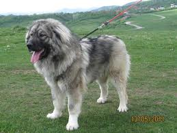 Barney the Caucasian Shepherd Dog