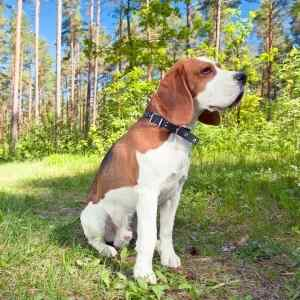 #5 Most Popular Dog Breed:  Beagle