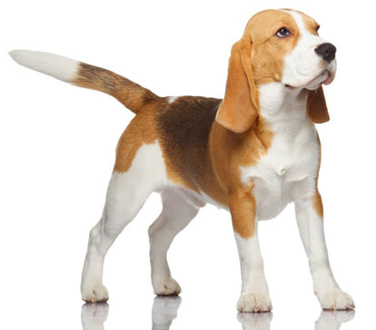 The Beagle Dog Breed Facts And Photos About The Lovable