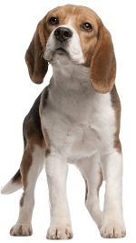 Beagle Dog Breed
