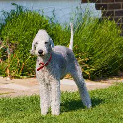 To keep this dog, the Bedlington Terrier looking like a lamb, a daily brushing is needed.  You may see a stray hair here and there, but they are rare.