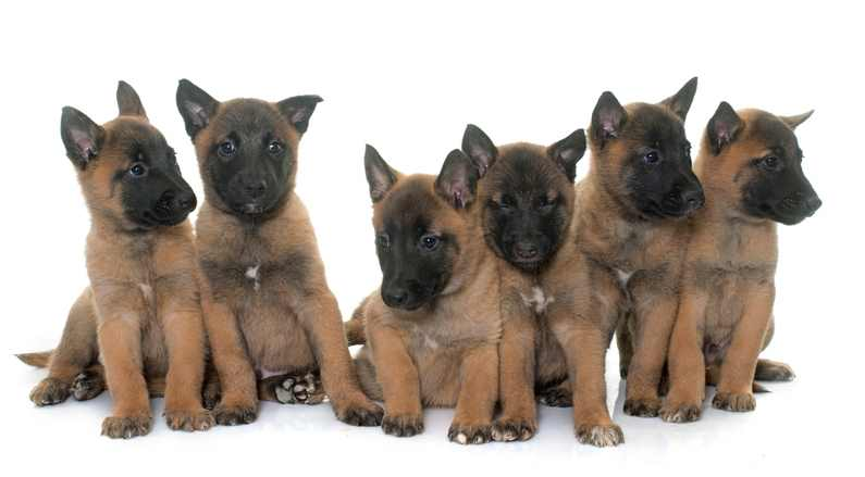 A litter of Belgian Malinois Puppies