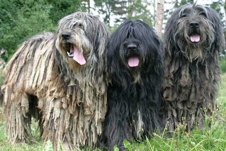 bergamasco shepherd dogs