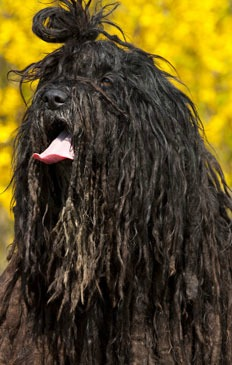 Bergamasco Sheepdog Dog Breed