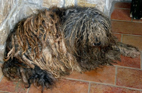 Bergamasco Sheepdog The Dog With Dreadlocks