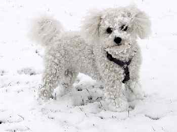 Bichon Covered in Snow and Loving It!
