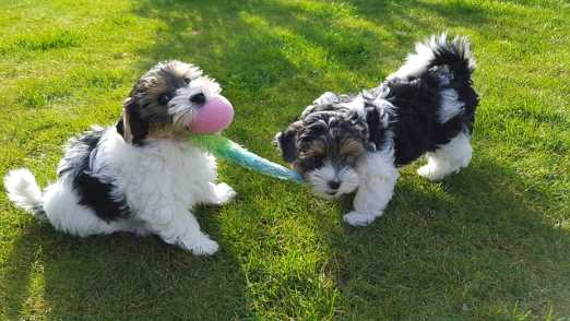 They look like Yorkshire Terriers with a twist--they have unique colors, however, they are a distinct breed. In the U.S., their tails are often docked and their ears, taped to stand upright.