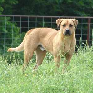 Blackmouth Cur