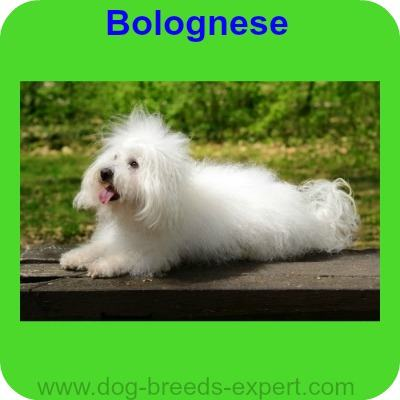 Bolognese, A calm dog breed