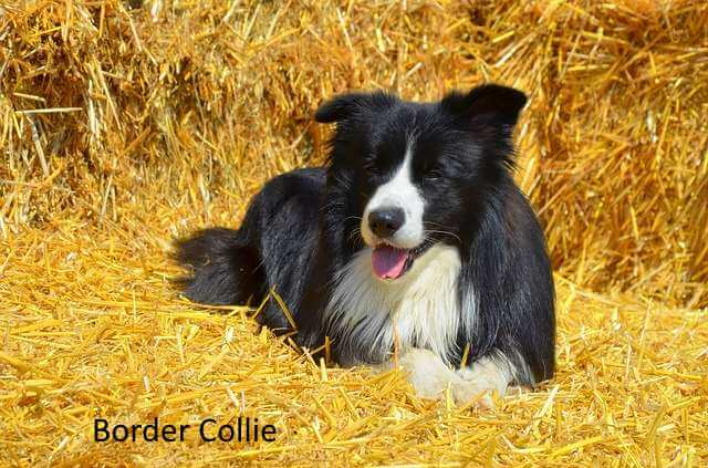 Border Collie: One of the Active Dog Breeds for Open Spaces
