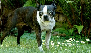 Brindle and White Boston Terrier
