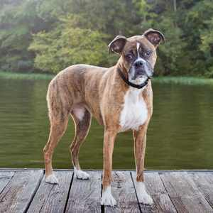 Deutscher Boxer,  (AKA German Boxer, Boxer)