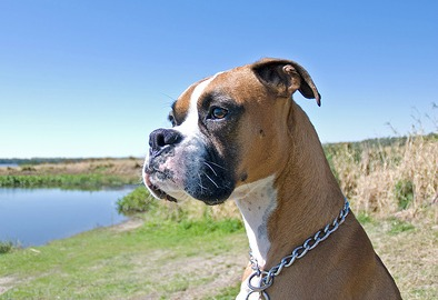 Boxer dog breed: Facts, photos and all the info you need!